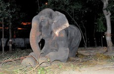 Elephant 'cries' when freed after 50 years in captivity