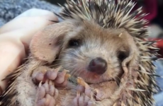 Adorable yawning baby hedgehog is every single person after work