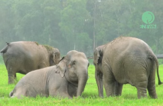 Irish people could learn a thing or two from these rain-loving elephants