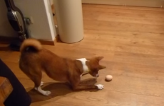 Watch this dog become thoroughly confused by an egg