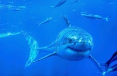 Great white shark dies after choking on a sea lion
