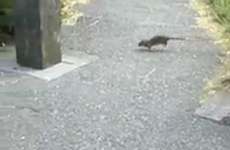 Dubliners: 'Never mind the seagulls, come sort out our rat problem'