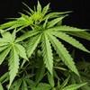 New app delivers medical marijuana to customer's door in 10 minutes