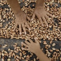 Nestlé wants 100% of their cocoa to come from sustainable sources