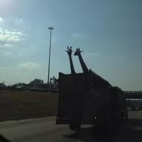 Giraffe in truck dies after hitting head on low bridge