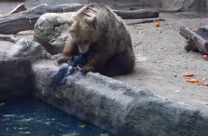 Watch a kindly bear save a crow from drowning
