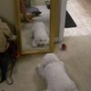 Dog sees its reflection in a mirror, has complete meltdown