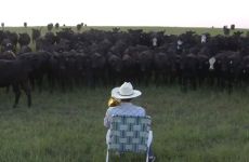 This farmer has a very unique way of gathering up his cattle