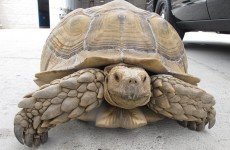 A 150-pound giant tortoise was found 'on the run' by US police