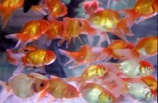 Goldfish ban for San Fran?