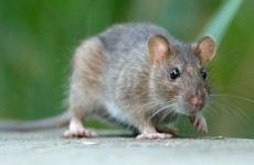 Rats On A Plane: Rodent infestation grounds Indian aircraft