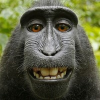 Photographer loses battle with Wikipedia over this amazing monkey selfie