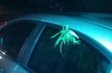 Men pulled over with marijuana plant sticking out of window