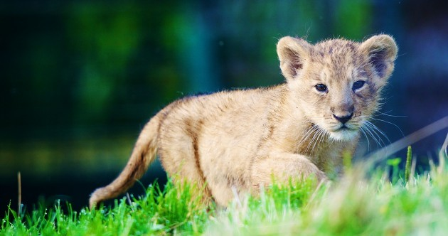 Dublin Zoo has a new attraction - and we're not lion*