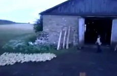 This Russian farmer is incredibly effective at herding his ducks