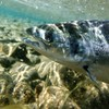 €230,000 announced for 'rehabilitation' of wild salmon and sea trout