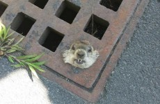 Little woodchuck rescued after getting head stuck in a grate