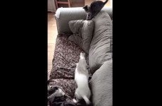 Dog gets way too excited about new kitten, falls off couch