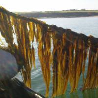 Irish scientists aim to use seaweed to sustainably create bioplastics