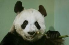 Edinburgh Zoo's panda is believed to be pregnant
