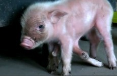 This six-legged piglet will melt your heart