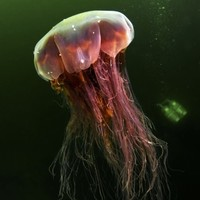 Seventeen deadly lion's mane jellyfish removed from Dublin beaches