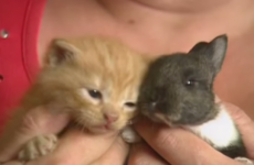 Kind mammy cat adopts and cares for an orphaned baby bunny