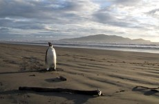 3,200km off course: Lost penguin taken to New Zealand zoo over health fears