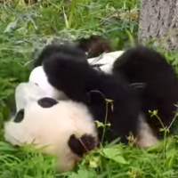 Panda loves her toy so much, she just wants to roll away with it