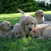 Could you give a puppy a loving home for a year before it becomes a guide dog?