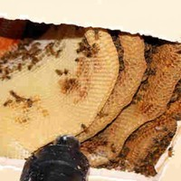 Woman finds 50,000 bees living in her ceiling