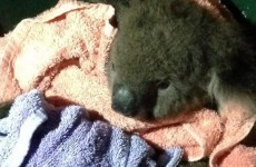 Emergency crew revives injured koala 'Sir Chompsalot' using mouth-to-mouth