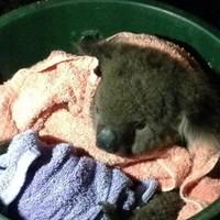Emergency crew revives injured koala 'Sir Chompsalot' using mouth-to-mouth