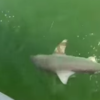 Massive fish nabs 4ft shark right off fisherman's line
