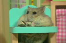 This tiny hamster hanging out in its tiny house is just TOO cute