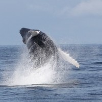 There's plenty of Humpbacks out there, but this year's Whale Watch day was a bit of a washout...