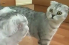 Dramatic cat spots itself in the mirror for the first time