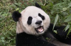 Live birth broadcast cancelled after panda fakes pregnancy to get more food