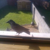 A 'crazy crow' is tormenting the people of a Co Louth village