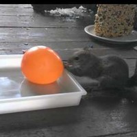 Squirrel learns a harsh lesson about water balloons