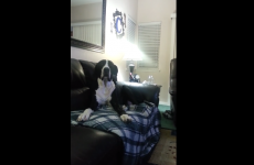 Massive Great Dane gives out and throws a hissy fit