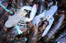 Two exceptionally rare albino lobsters caught in one week in Maine