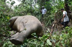 Two endangered elephants found dead with their tusks removed