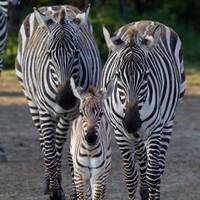 Check out the adorable new baby zebra born in Dublin Zoo