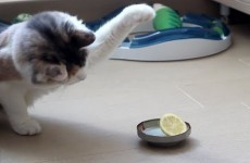 This cat sizing up a lemon is the epic confrontation of our time