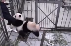 Baby panda loves his zookeeper so much he refuses to let go of his leg