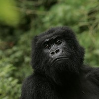 Poachers turned gamekeepers: Rwanda looks to hunters to save mountain gorillas