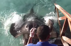 Hungry stingray jumps onto ramp, demands food