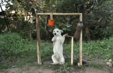 Dog is late to the ice bucket challenge, but the result is far too cute to ignore