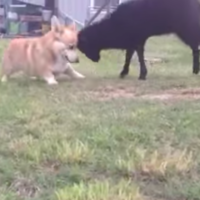 Just a little black lamb and a corgi, playing tag